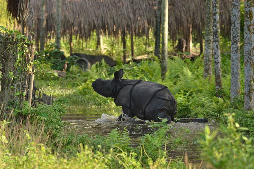 Stranded Baby Rhino in Assam