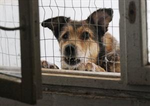 In this Friday, Aug. 19, 2011  photo, a dog in a privately run animal shelter in the town of Hostomel outside Kiev, Ukraine, looks on. Warning: Some of the following photos are disturbing.