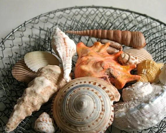 Edible Chocolate Filled Candy Seashells 8 - great for cake decorating, gift giving, favors, and stand alone