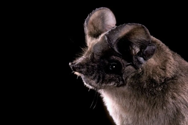 The Mexican free-tailed bat (also known as the Brazilian free-tailed bat) is the most prevalent species in the UF colony