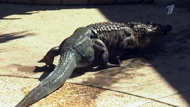 Аллигатор из Аризоны стал первой рептилией, которой сделали протез