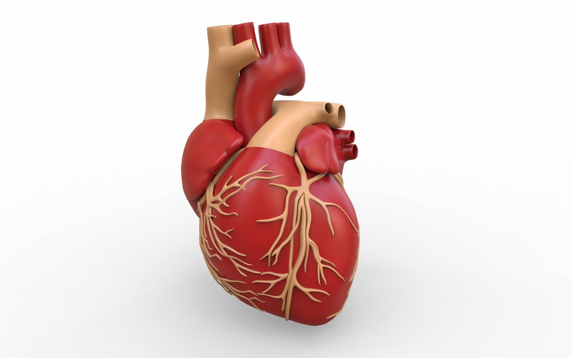 3d Human Heart Valve Cgtrader