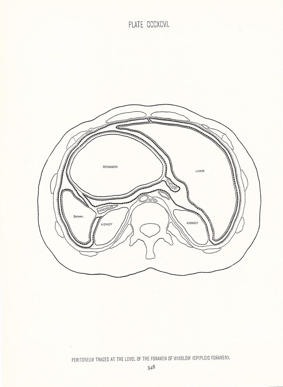 Human Anatomy Print Peritoneum At Forearm Vintage