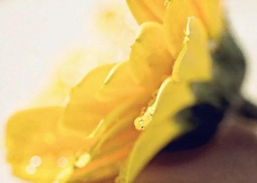 Macro Photography Nature Bright Yellow citrine wall art home decor flower gerbera daisy vivid neon under 25 for her women rain water drops - Lori411