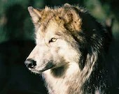 Wolf Face Golden Eyes Wild Penetrating Stare Wolves Rustic Cabin Lodge Photograph - SimplyLodge