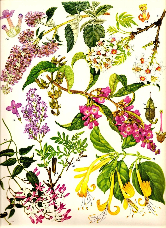 Vintage Botanical Print 1970 Color Art Wild Flowers Book PLATE