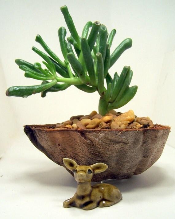Gollum Suculenta Jade em um coco ideia plantador único