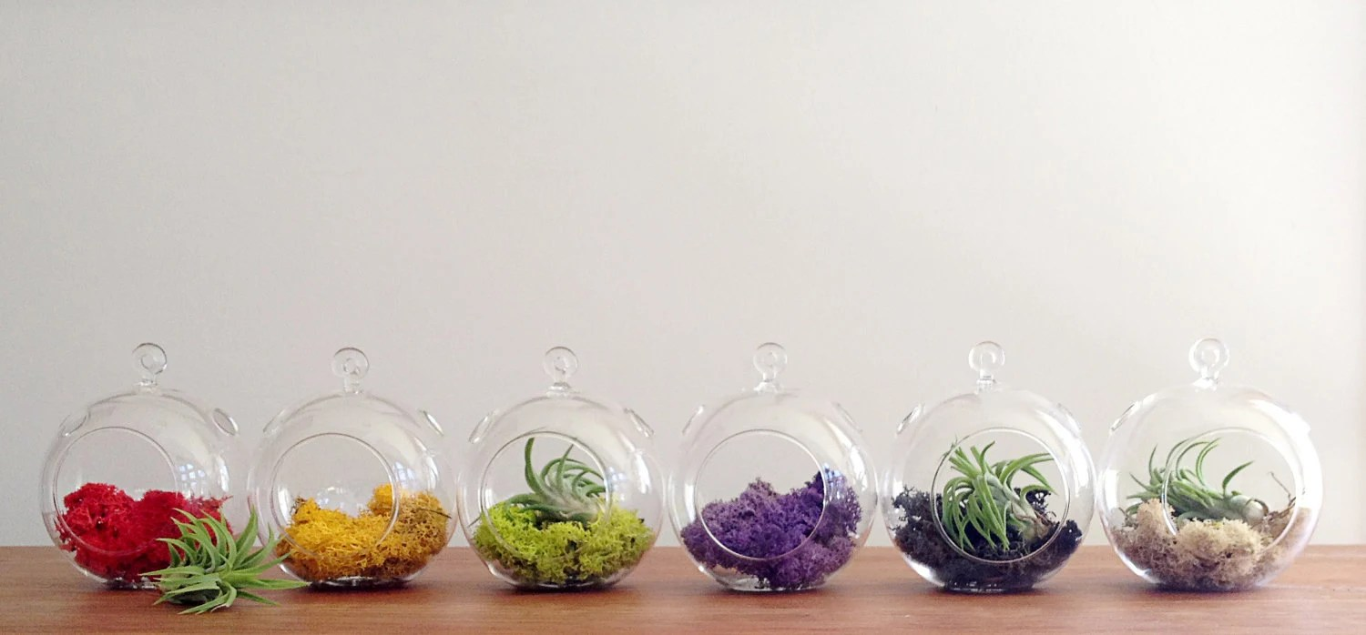 3 pack of sphere shaped glass hanging terrariums, and your choice of moss, desk garden, DIY
