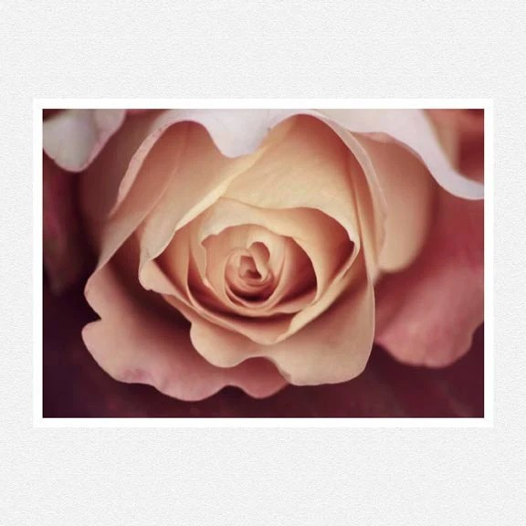 Flower Photography, blush pink, rose, macro, Karmic, nature fine art photography print 8x12 mother's day - moonlightphotography