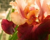 Iris Creamsicle over Dusky Ruby-Red Velvet  photograph 5x5 - CheyAnneSexton