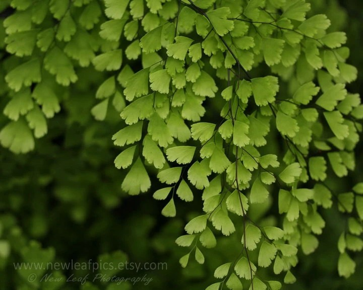 Maidenhair Fern Print, macro photography, botanical print, green and black, home decor, fine art print - NewLeafPics