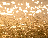 Autumn photography wild grass maize yellow honey gold fall photo sparkling water bokeh sunlight ochre curry - Seeing Spots 8x10 - bomobob