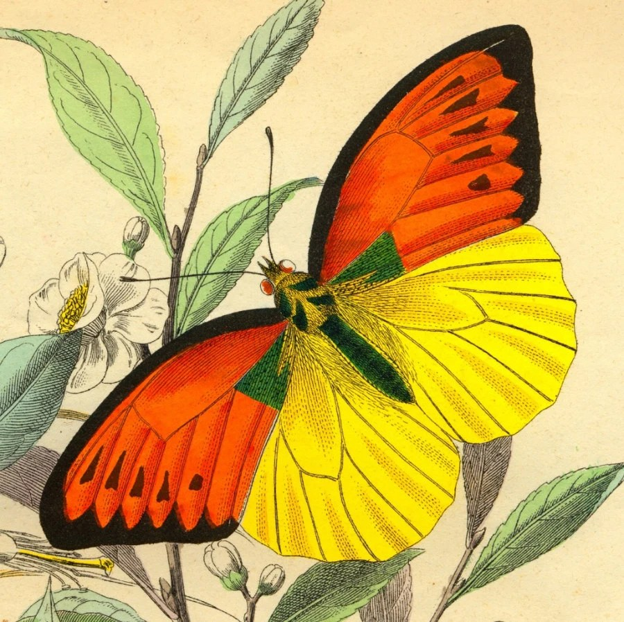Butterflies Orange Yellow Old-flight of a butterfly-Natural history - arttour