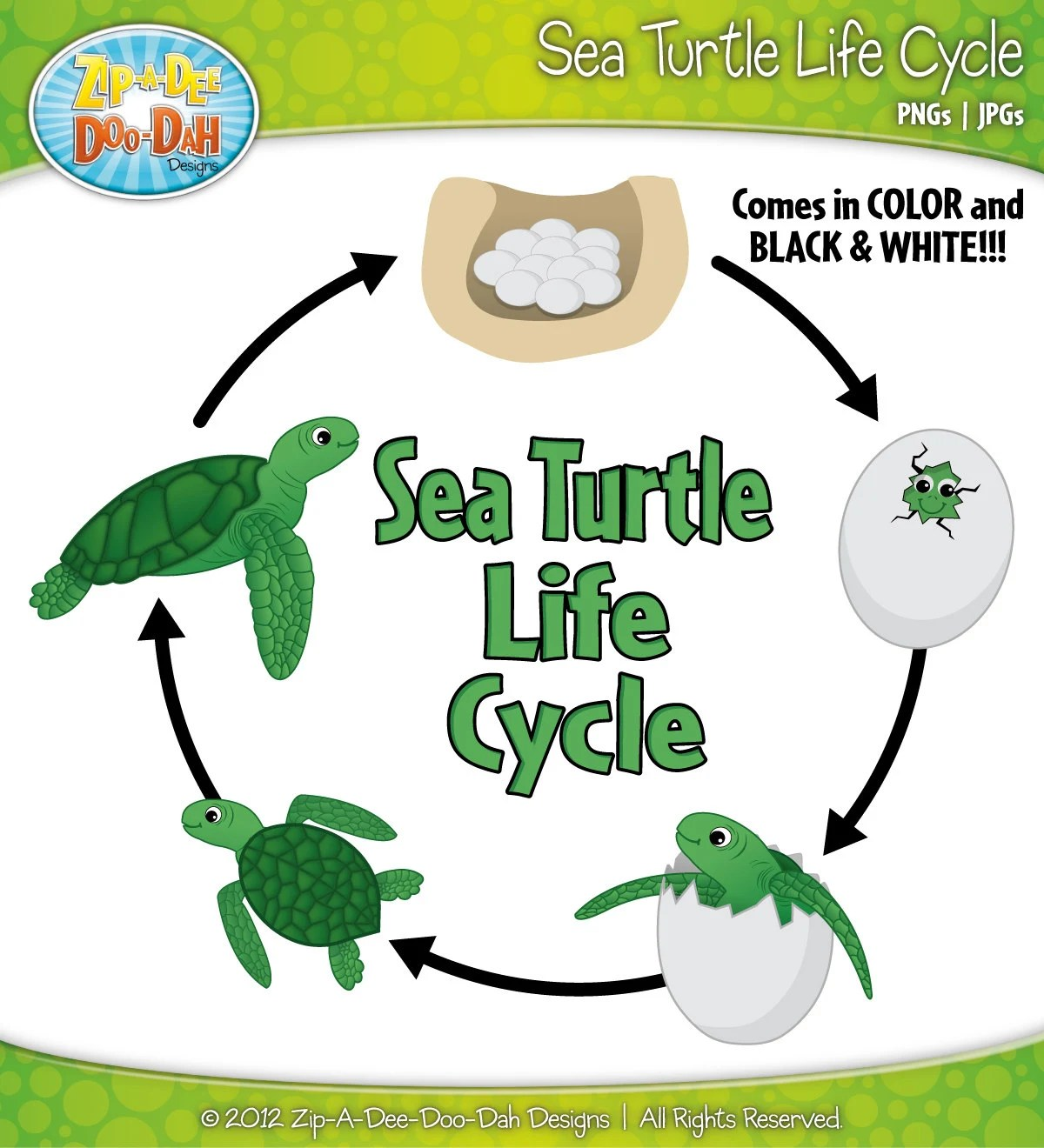 Sea Turtle Life Cycle Clipart Set Includes By