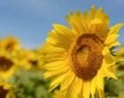 sunflower photo, sunflower decor, sunflower photo, sunflower photography, yellow decor, sunflower art, sunflower print, flower art