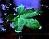 Pond Leaf, Floating Leaf,...