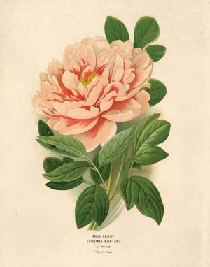 Vintage Flower Botanical Print Pink Tree Peony Educational