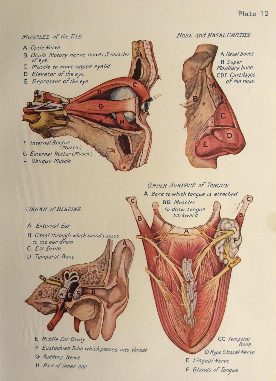 Original Vintage Human Anatomy Dissection Bookplate Print