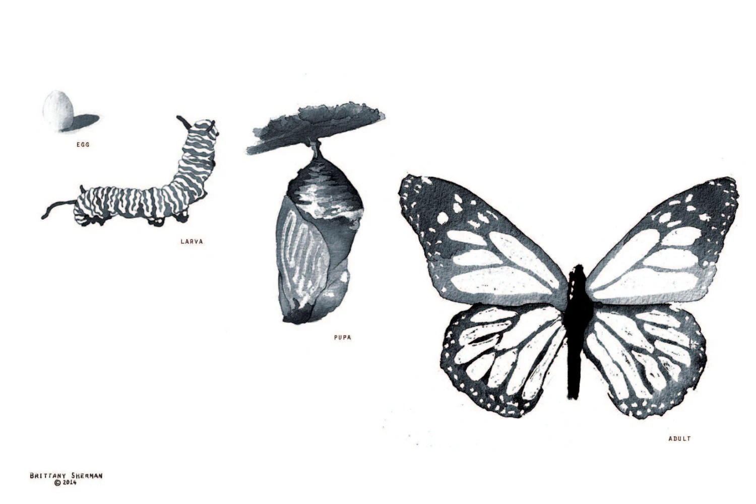 Life Cycle Of A Monarch Butterfly Fine Art Print