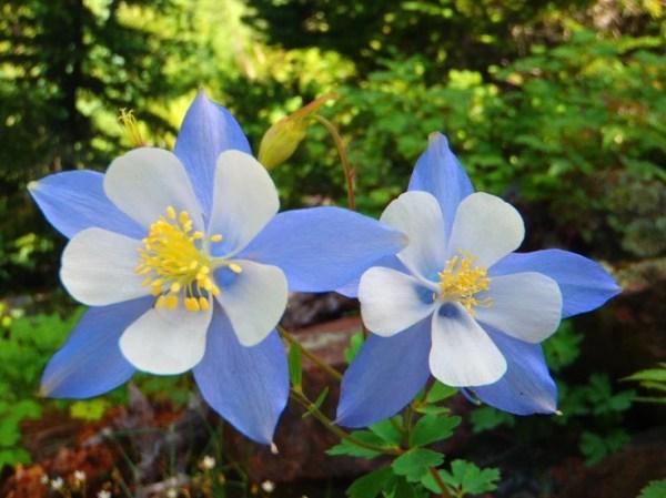 Rocky Mountain Columbine Aquilegia caerulea 100 seeds