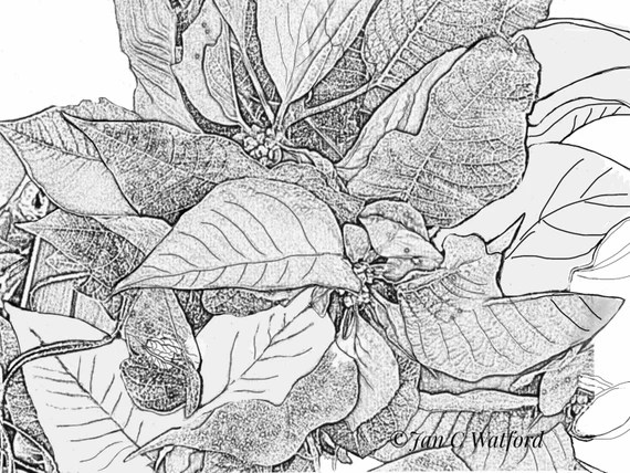 poinsettias adult coloring pages coloring page gray scale