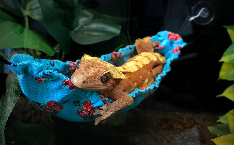Gecko Lizard Hammock