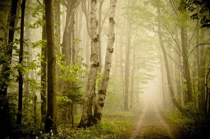 Road Less Travelled. woodsy woodland forest trees. fog.moss lime green.dreamy rustic summer. brown black. natural organic. 16x20 photograph