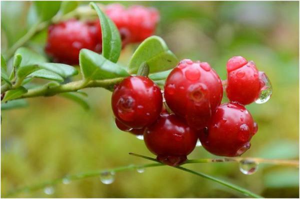 Лесные ягоды. Фото.. Обсуждение на LiveInternet ...