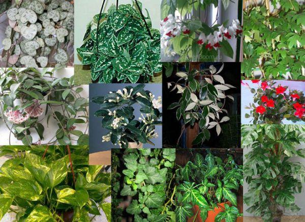 Вьющиеся Комнатные Цветы И Их Названия Фото