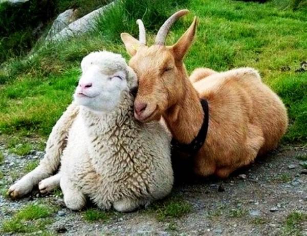 Imagini pentru fait shep goat