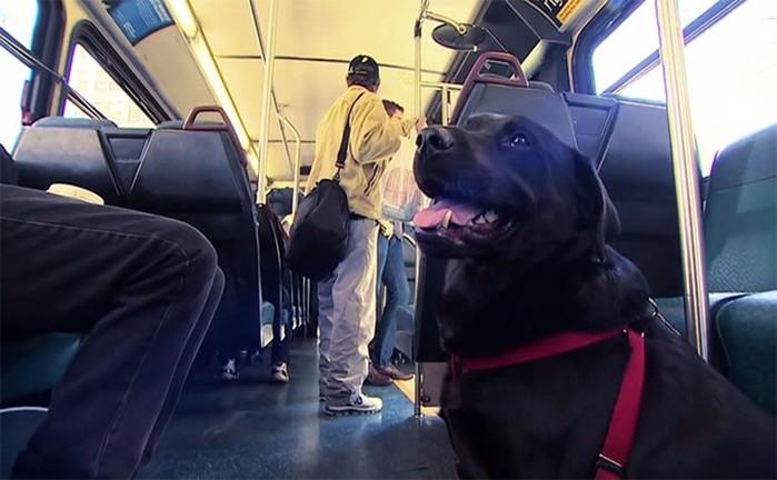 Умная собака пассажир в Сиэтле ездить сама на общественном транспорте