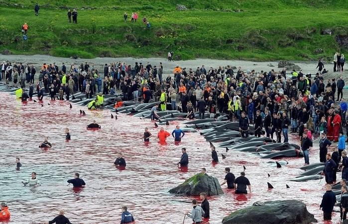Ежегодное убийство дельфинов гринд возле Фарерских островов