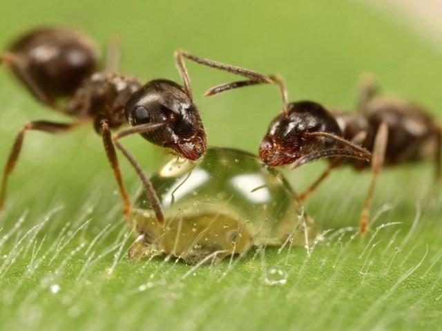 Что едят муравьи?