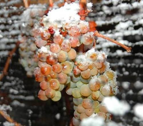 Что такое Айсвайн (Icewine), или Ледяное вино