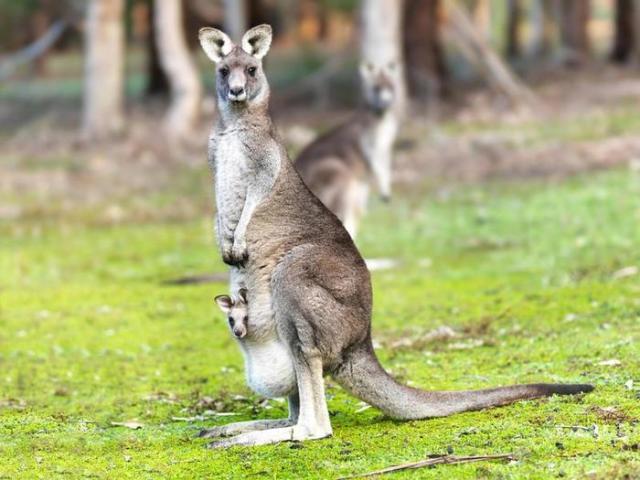Почему у кенгуру есть сумка?