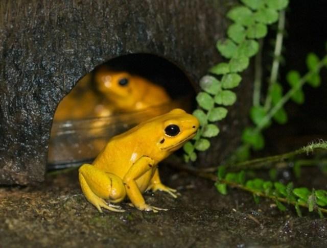 Пестрая ядовитая лягушка