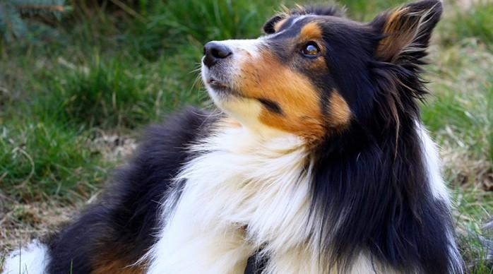 Рейтинг самых умных пород собак