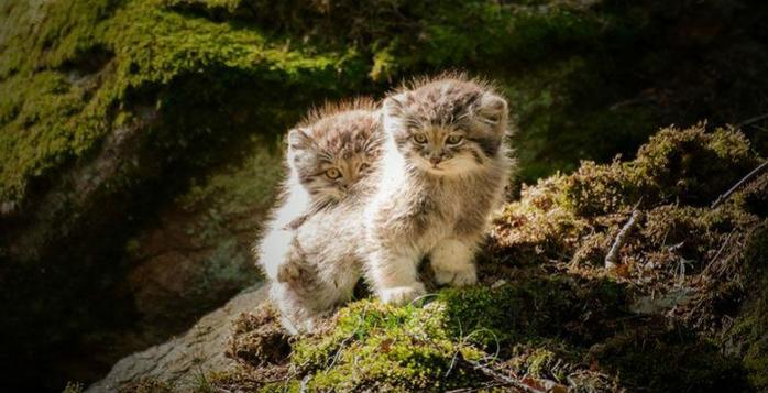 Экспрессивные дикие кошки прошлого