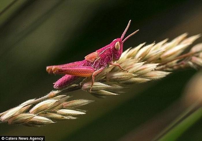 Гламурный кузнечик розового цвета попал в объектив фотографа