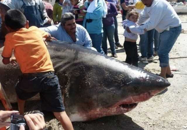Самые большие акулы, пойманные в истории