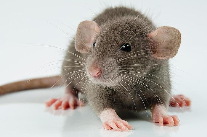 Самые неожиданные и интересные факты о крысах