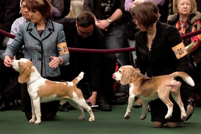 «Олимпиада для собак»: фотографии выставки Westminister Kennel Club