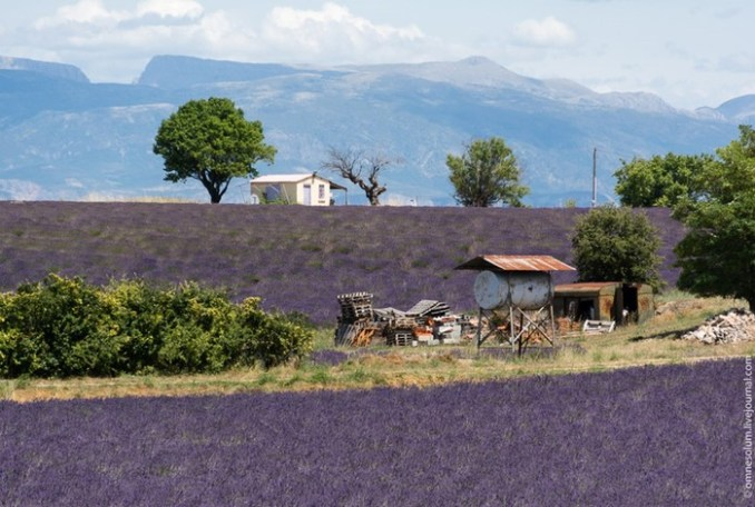 Поля лаванды в Провансе— настоящий мировой тренд