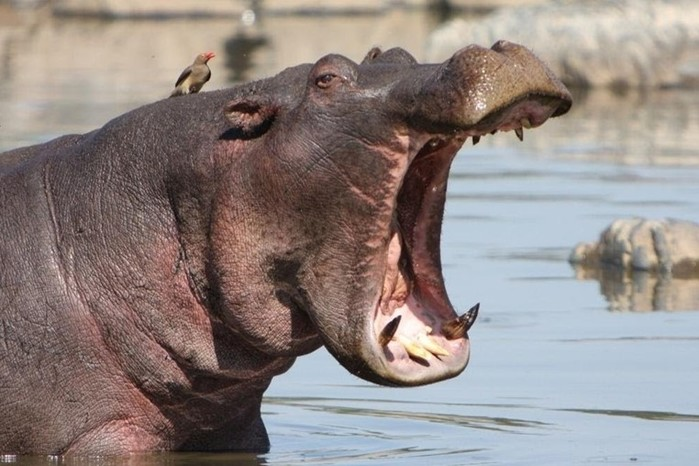 Нападение голодного бегемота на лодку: ярость речного монстра едва не убила туристов