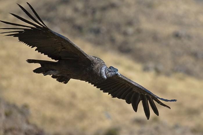 Какие самые большие хищные птицы
