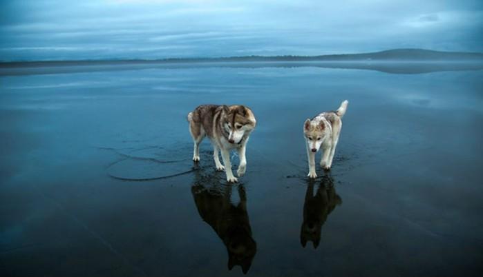 Фотографии хаски: красивые собаки в фантастических пейзажах