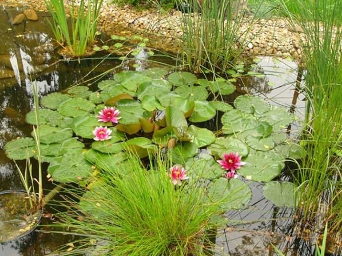 Некоторые правила по уходу и высадке водных растений
