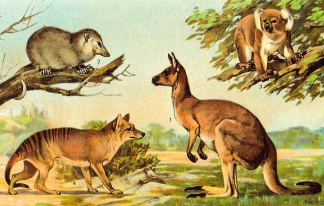 Что такое сумчатые животные? Какие бывают сумчатые и где они живут