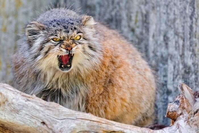 Манул: кот, который победил время, но гладить его не стоит!