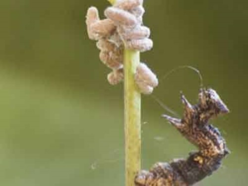 10 самых изобретательных паразитов человека и животных